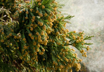 花粉のイメージ